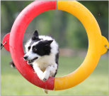 Border collie Sequel jumping through a tire at a USDAA agility trial. Photo credit to Wayne Ramsey.